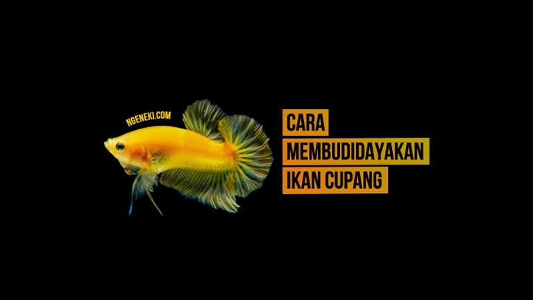 Cara Membudidayakan Ikan Cupang